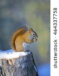 Red Squirrel Sitting On Tree...