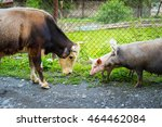 Small photo of A bull and black pig with a cheerful piglet meet each other. The bull shows aggression towards the sow. The mother pig will grunt shortly and aggressively and after that they all will go away in peace