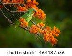 close up orange winged parrot ... | Shutterstock . vector #464487536