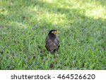 Small photo of portrait of acridotheres bird in green grass field