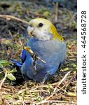 Small photo of pale-headed rosella