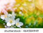 white jasmine the branch... | Shutterstock . vector #464584949