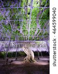 Wisteria Flowers In Japan With...
