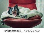 dog  black and white border... | Shutterstock . vector #464778710