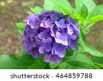 Small photo of Hydrangea flowers, can change colors according to the acidity of the soil in which they are growing
