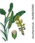 banana flower and root plant...   Shutterstock . vector #464865080