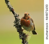 Small photo of A bald Robin, also known as Robin Redbreast, moulting