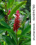 Small photo of Red Flower Red Ginger (Alpinia purpurata) photo shoot in Cuba.