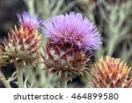 Flower Bud Of Cardoon Or Cynara ...