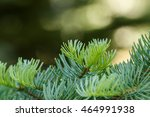 Small photo of Red fir (Abies magnifica) branches with fresh green growth with a blurred background