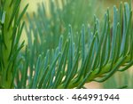 Small photo of Closeup of red fir (Abies magnifica) needles on a young tree