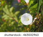 bindweed | Shutterstock . vector #465032963
