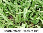 Polystichum Munitum  The...