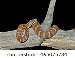 Small photo of A close up of the venomous snake (Agkistrodon saxatilis) on dry tree. Isolated on black.
