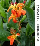 Small photo of Canna L. ,Gaiety, hybrid flower. Cannaceae family