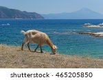 goat grazing on sea background | Shutterstock . vector #465205850