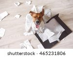 bad dog sitting on the torn... | Shutterstock . vector #465231806
