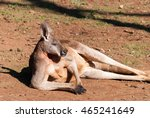 Male Kangaroo Resting In An...