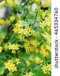 Small photo of Yellow flowers of Golden Buffalo Currant Ribes Aureum background