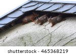 Four Young Squirrel On House
