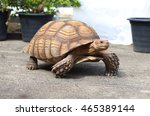 Sulcata Tortoise Walking On...