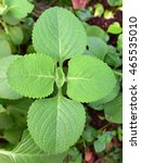 Small photo of Coleus aromaticus, Plectranthus amboinicus, Coleus amboinicus - fleshy, aromatic perennial medicinal herb