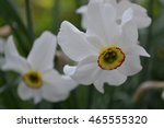 Small photo of Narcissus. Narcissus poeticus actaea. narcissus flowers on a blurred background. Close-up. Horizotal photo. Card