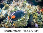 Small photo of Achilles Tang fish, Achilles Surgeonfish, Red-tailed Surgeon