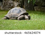 Small photo of The Aldabra Tortoise, Dipsochelys dussumieri, grazing on grass.