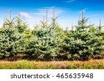 Christmas Tree Farm With Spruc...