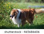Adult Rough Collie Playing On...