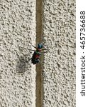 Small photo of Cicindela japonica on the concrete wall