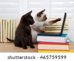 Stock photo siamese kitten sitting pointing at screen with one paw other paw on keyboard of miniature laptop 465759599