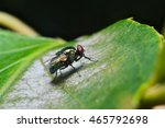 Small photo of Green cluster fly (Dasyphora cyanella)