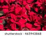 Christmas Flowers  Poinsettias...