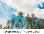 Small photo of Crowns Treetops Of Tall Thin Slender Evergreen Pines Under Cloudy Spring Summer Blue Sky Welkin Background.