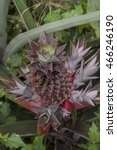 Small photo of Pineapple in the Amazon, Acre, Brazil.