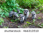 raccoon family | Shutterstock . vector #466313510