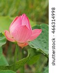 Small photo of water lilt;lotus flower;a beautiful aquatic flower