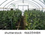 marijuana growing in greenhouse ... | Shutterstock . vector #466354484