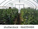 marijuana growing in greenhouse ... | Shutterstock . vector #466354484