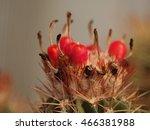 Melocactus Fruit  Cactus Seeds...