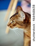 Small photo of abyssinian cat in the beautiful interior in cafe