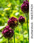 chive herb flowers on bokeh...