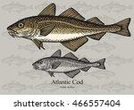 atlantic cod. vector... | Shutterstock .eps vector #466557404
