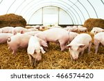 Herd Of Young Piglet At Pig...