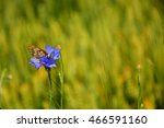 butterfly on blue cornflowers  | Shutterstock . vector #466591160