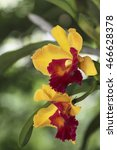 Small photo of Beautiful Orchid Cattleya alma kee flower
