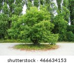 young chestnut tree | Shutterstock . vector #466634153
