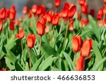group of red tulips in the park.... | Shutterstock . vector #466636853